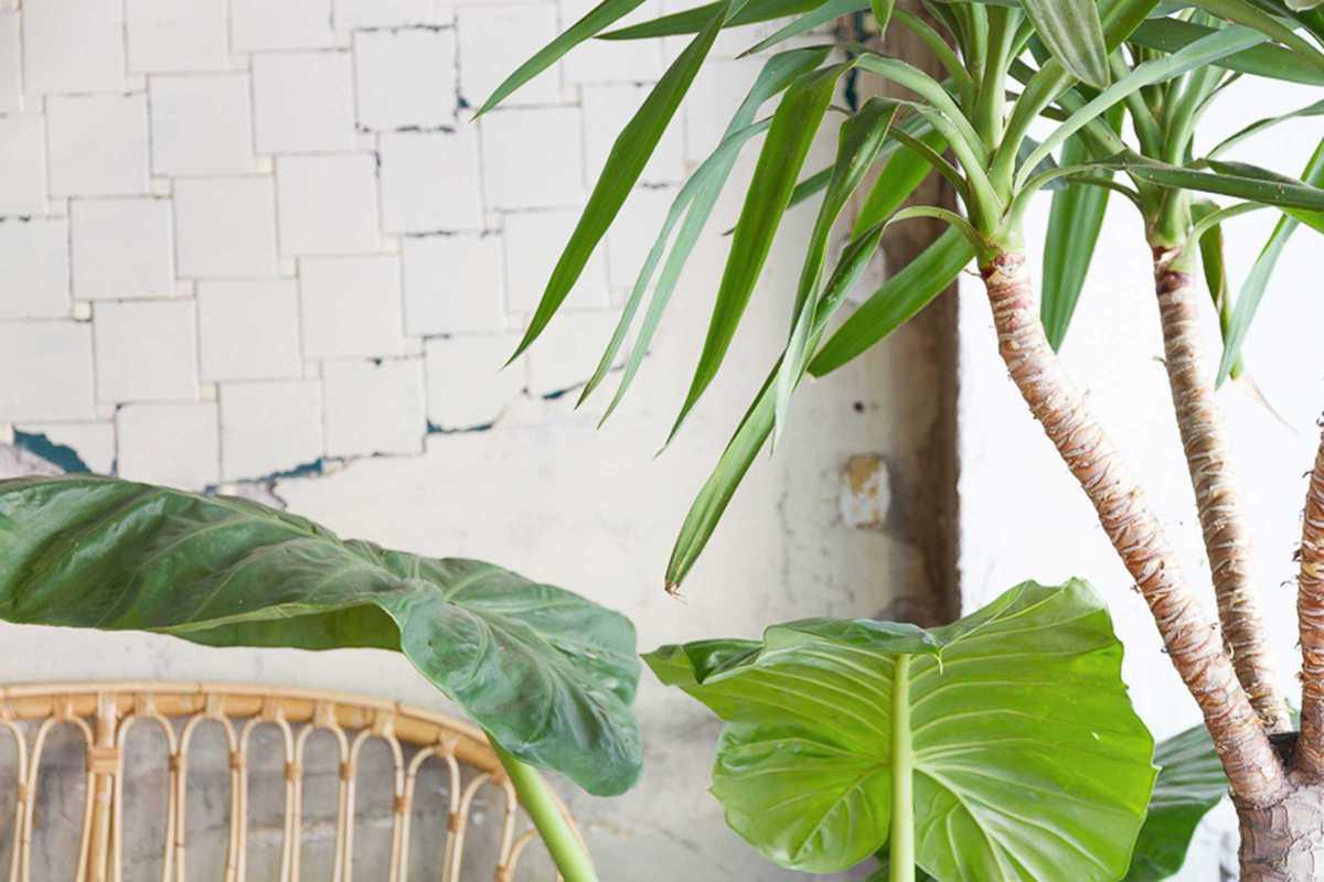 cafe manila plants